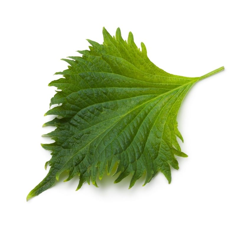 Shiso leaves green