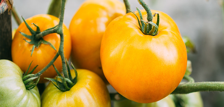 Three Rock-Hard Reasons to Have Yellow Tomatoes This Summer